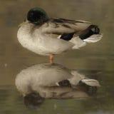 Mallard at rest. A mallard drake taking it easy in the still waters of a riparian pond Stock Photo