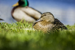 Mallard at rest. A Mallard rests by the water Royalty Free Stock Photo