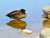 Mallard Resting Royalty Free Stock Photo