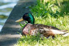 Mallard resting in the grass by the lake Stock Photos