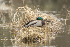 Mallard rests on grass clump. A male mallard rests on a clump of grass in a pond Royalty Free Stock Photos