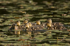 A Mallard's ducklings Stock Images