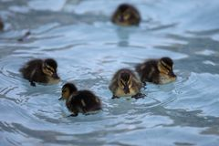 Mallard`s Ducklings. In Rome`s Fountain Royalty Free Stock Photography