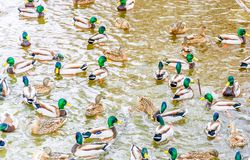Mallard`s Spring Party. In a Small Urban Pit in Blainviille, Quebec,  Canada Stock Photography