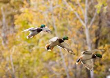 Mallard in sequence. A Drake Mallard duck in sequence Royalty Free Stock Image