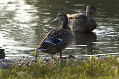 Mallard Shore Royalty Free Stock Image