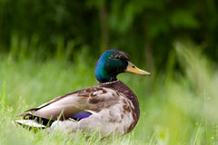 Mallard side view Portrait. Portrait of a Mallard standing on green grass Stock Photos