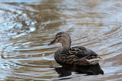 Mallard. Single Mallard swimming in pond Stock Photos