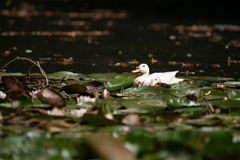 Wild breeding white freshwater duck in a pool. Mallard sits quietly between the water lilies, green leaves and other water plants. beautiful sunlight falls on a Stock Photography