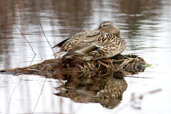 Mallard sits by water. A mallard duck sits on a clump rising out of the water Royalty Free Stock Photos