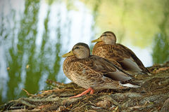 Mallard sitting near the lake. Mallard duck sitting near the lake Royalty Free Stock Photo