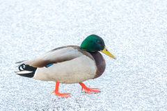 Mallard skating on ice. Male Mallard Anas platyrhynchos walking on ice in Helsinki, Finland. Photo taken: February 28, 2016 Royalty Free Stock Photos