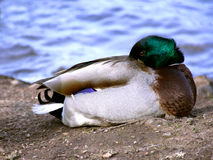 Mallard sleeping with head under his wing. Stock Photo