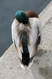 Mallard. A mallard sleeps by the lake Royalty Free Stock Image