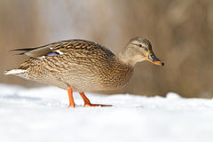 Mallard in the snow. Female Mallard in the snow Royalty Free Stock Photo