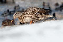 Mallard in snow. In the Netherlands Royalty Free Stock Image