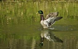 Mallard Splash Royalty Free Stock Images
