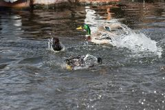 A Mallard splashes in a pond, playing and grooming himself. An adult Mallard drake splashes in a pond, playing and grooming himself Stock Photos