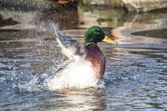 A Mallard splashes in a pond, playing and grooming himself. An adult Mallard drake splashes in a pond, playing and grooming himself Royalty Free Stock Image