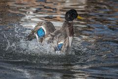 A Mallard splashes in a pond, playing and grooming himself. An adult Mallard drake splashes in a pond, playing and grooming himself Royalty Free Stock Photos