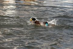 A Mallard splashes in a pond, playing and grooming himself. An adult Mallard drake splashes in a pond, playing and grooming himself Royalty Free Stock Photography