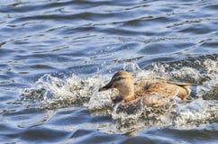 Mallard Splashing. Playful Female Mallard splashing in the water Stock Photos