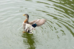 Mallard spread its wings Royalty Free Stock Photography