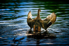 Mallard spreading its wings when rising from water. Female mallard spreading its wings when rising from water Stock Image