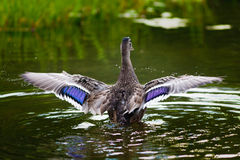 Mallard spreading its wings and splashing water Stock Images