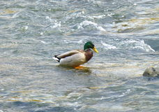 Mallard standing in the shallow river. Photo of a mallard standing in the shallow river Stock Image