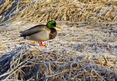 Mallard stands on brown grass. A male Mallard is perched on the frost covered brown grass Stock Photos
