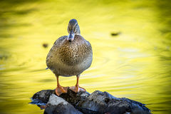 Mallard stands on rocks. A mallard duck stands on small rocks by a pond at Cannon Hill Park in Spokane, Washington Royalty Free Stock Image