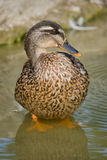 A mallard stands in the water. There is a female mallard standing in the water of the lake Stock Images