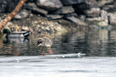 Mallard stretches on a patch of ice. Royalty Free Stock Images