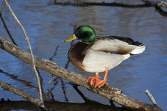 Mallard sunning Stock Photography