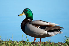 Mallard sunning Royalty Free Stock Photography