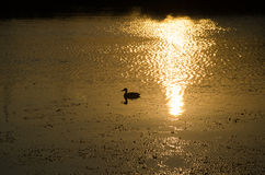 Mallard in the sunset. A wild duck swims in the lake in the light of the setting sun Royalty Free Stock Image