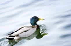 Mallard swimming. Mallard duck swimming in lake Royalty Free Stock Photography