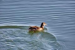 Mallard swimming on a cold river. Mallard swimming fast on a cold river in wintertime Stock Image