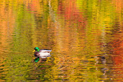Mallard swimming on fall reflections stock photo