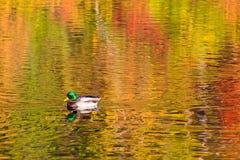 Mallard swimming on fall reflections Stock Photo