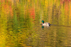 Mallard swimming on fall reflections. A male mallard swims in Ottawa canal covered by colorful fall reflections Royalty Free Stock Photos