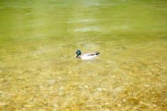 Mallard swimming in green river royalty free stock photos