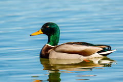 Mallard. Swimming on lake Hallwil Royalty Free Stock Photos