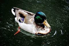 Mallard swimming in lake Stock Photography