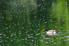 Mallard swimming on the lake. In spring with emerald water Stock Images