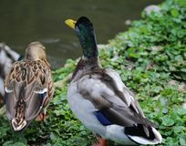 Wild duck. Mallard swimming in a lake Stock Images