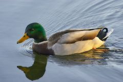 Mallard Swimming. A male Mallard Duck swimming in a lake Royalty Free Stock Image