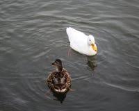 Mallard swimming Royalty Free Stock Images