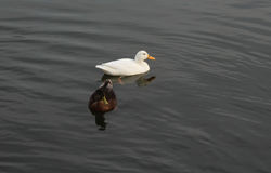 Mallard swimming. In the lake Royalty Free Stock Photos